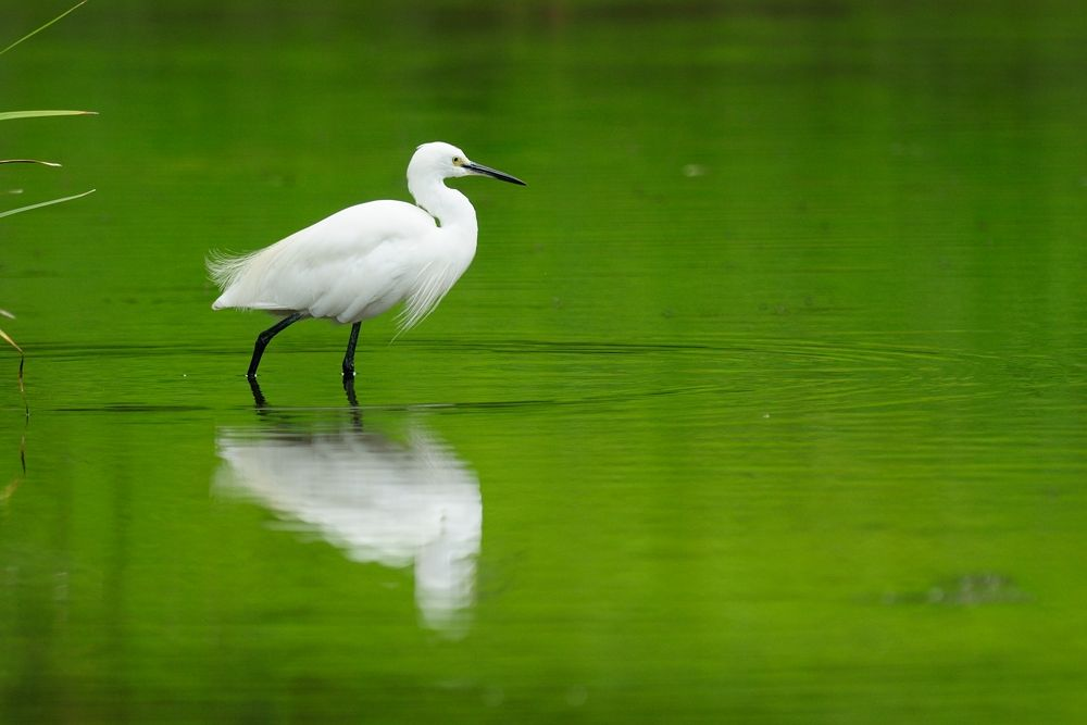 Photo in Animal #little egret #bird #green #ypa2013