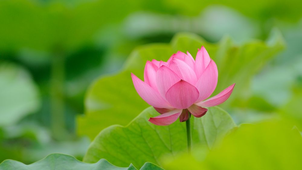 Photo in Landscape #lotus #open #ypa2013