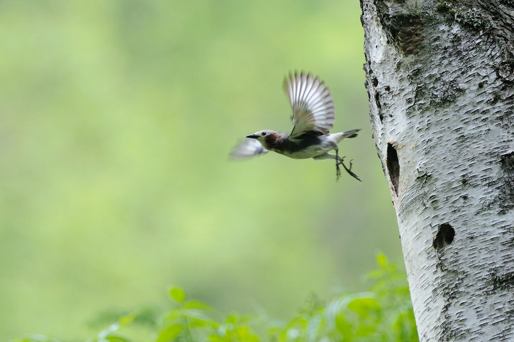 Photo in Animal #chestnut-cheeked starling #bird #forest #ypa2013
