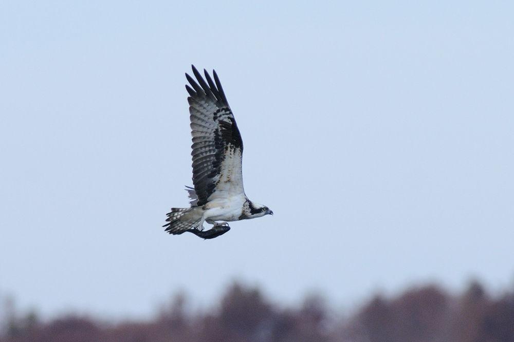 Photo in Animal #osprey #bird #torpedo #fish