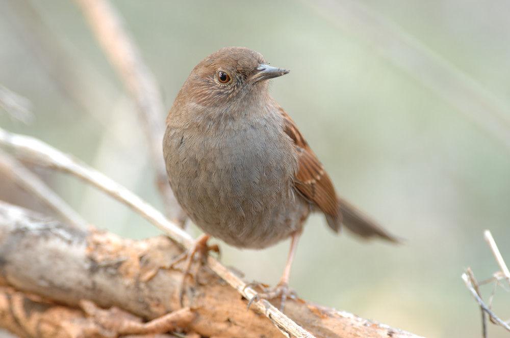 Photo in Animal #japanese accentor #bird
