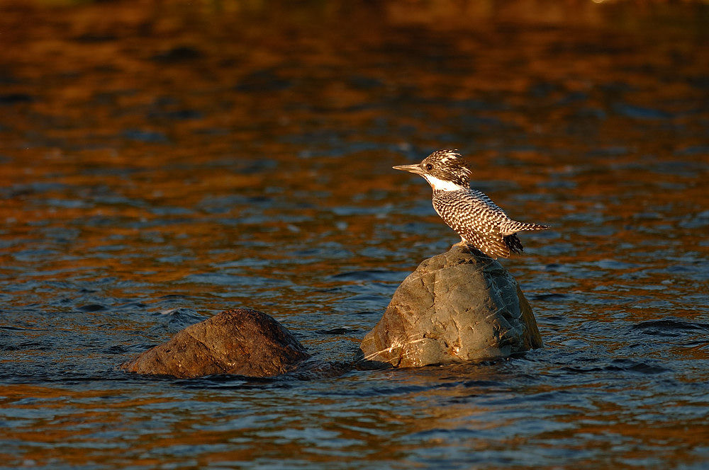 In Sunrize Red ! , Crested Kingfisher by Mubi.A