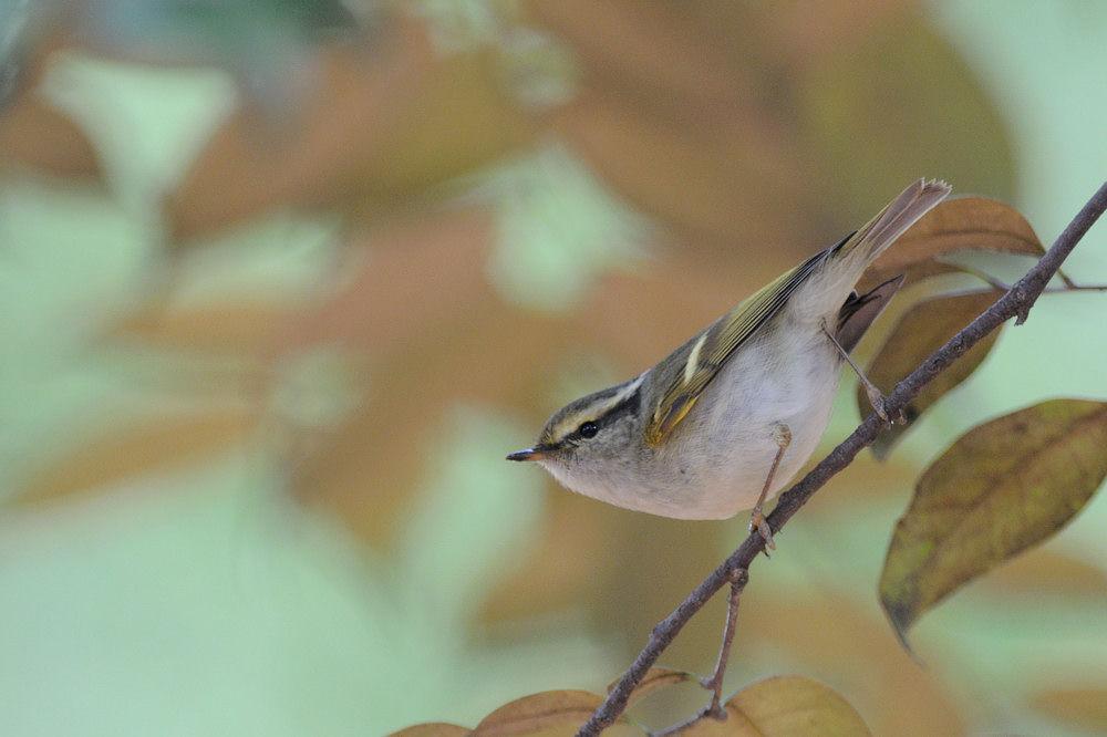 Photo in Animal #pallas's leaf warbler #bird