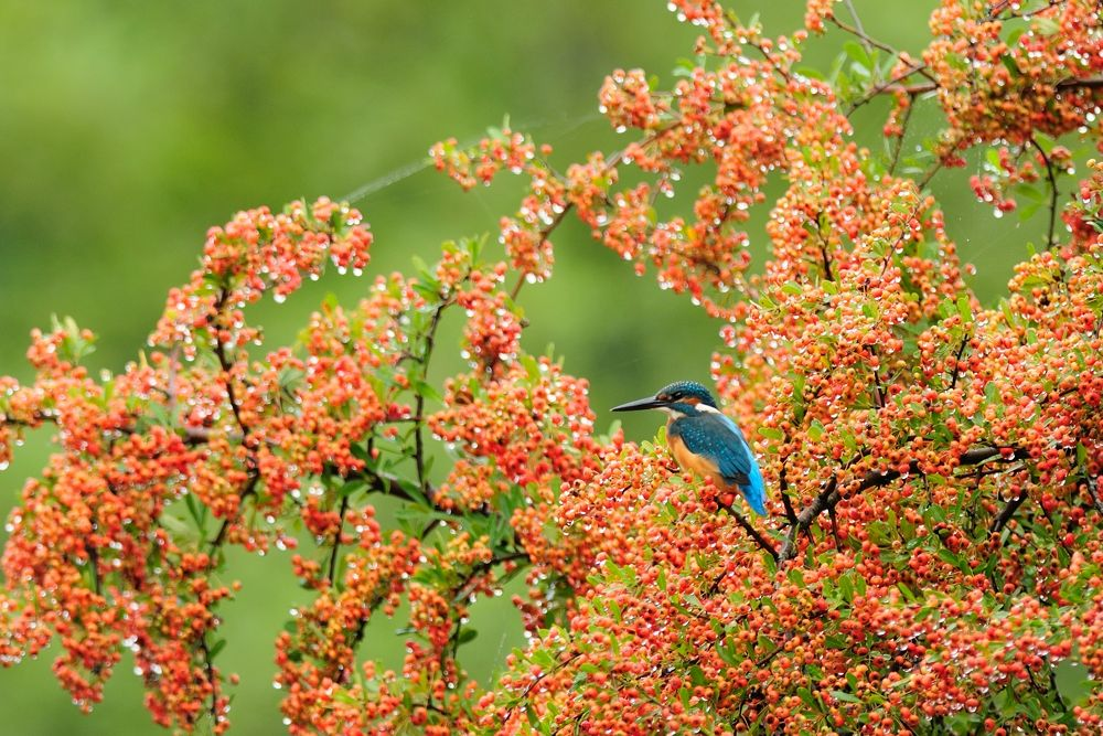 On Jewels ! , Kingfisher by Mubi.A
