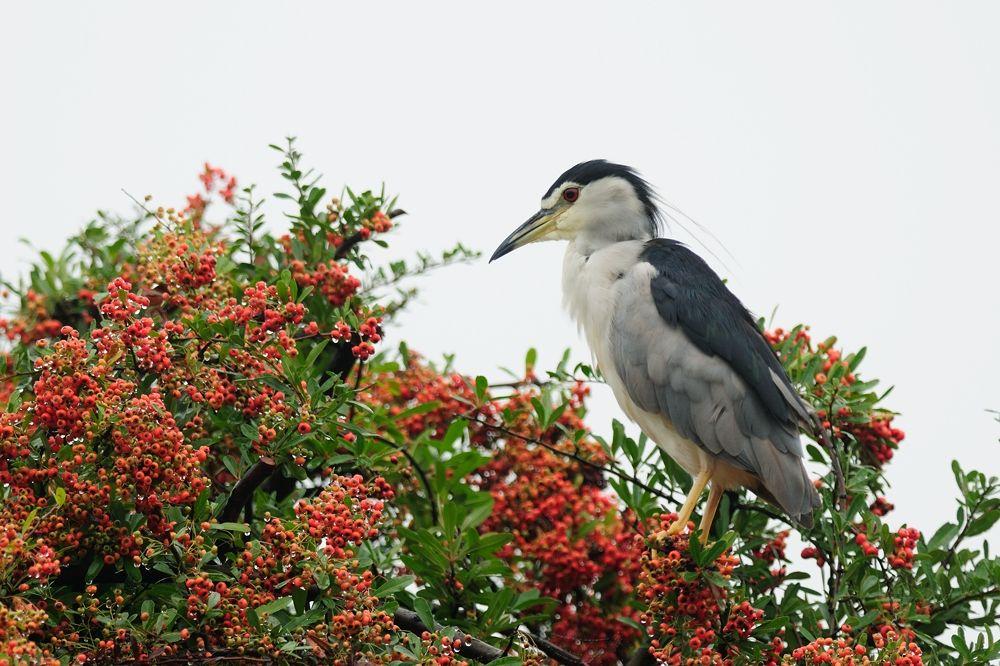 Photo in Animal #black-crowned night heron #bird #jewel