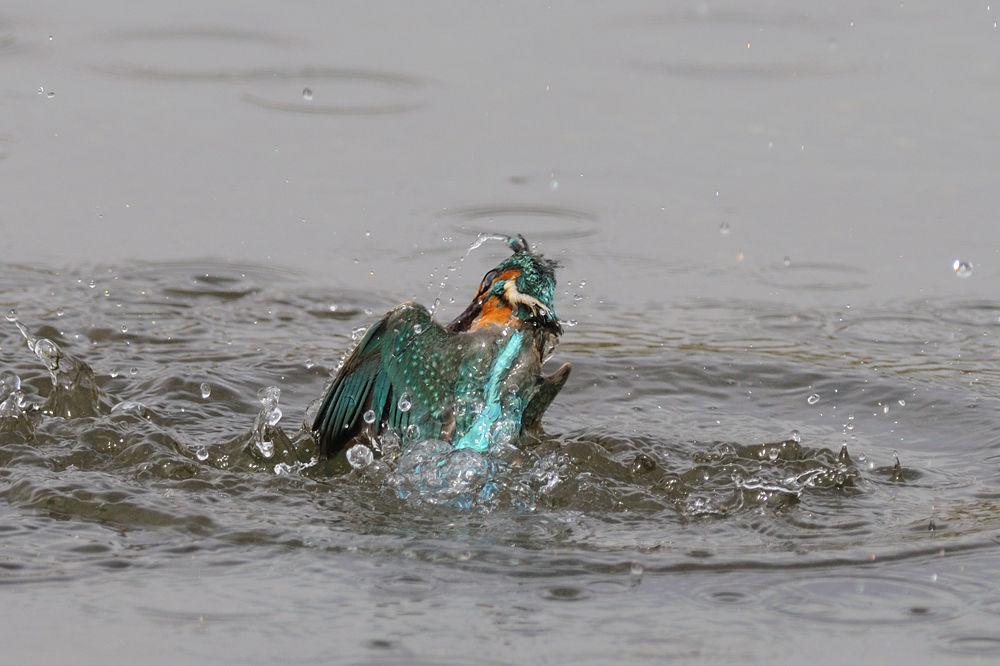 From the Water ! , Kingfisher by Mubi.A