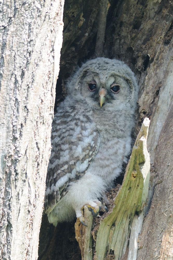 Cute ! , Baby Ural Owl by Mubi.A