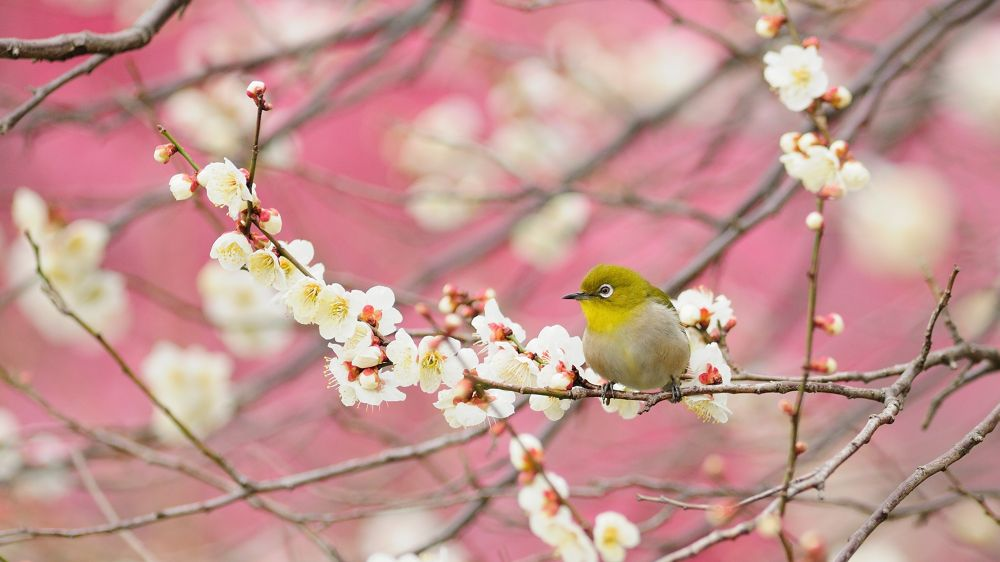 Photo in Animal #japanese white-eye #bird #pink #ume #ypa2013