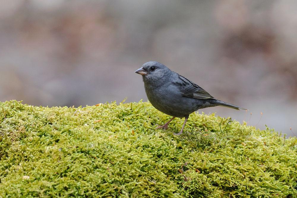 Photo in Animal #grey bunting #bird