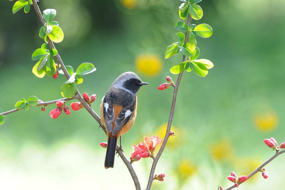 Daurian Redstart by Mubi.A