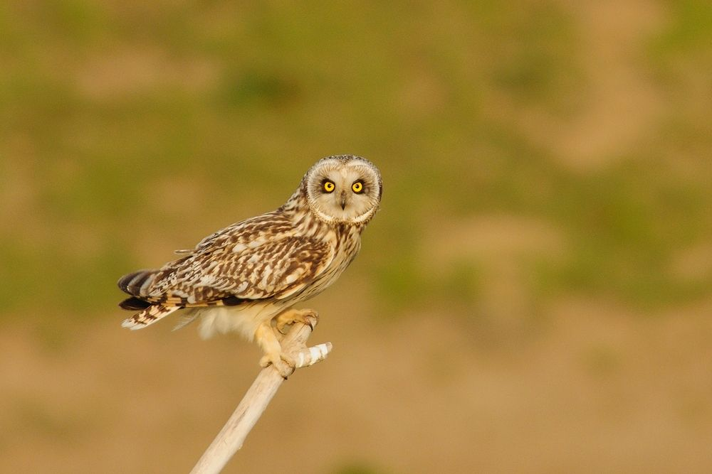 Eye Contact ! , Short-eared Owl by Mubi.A