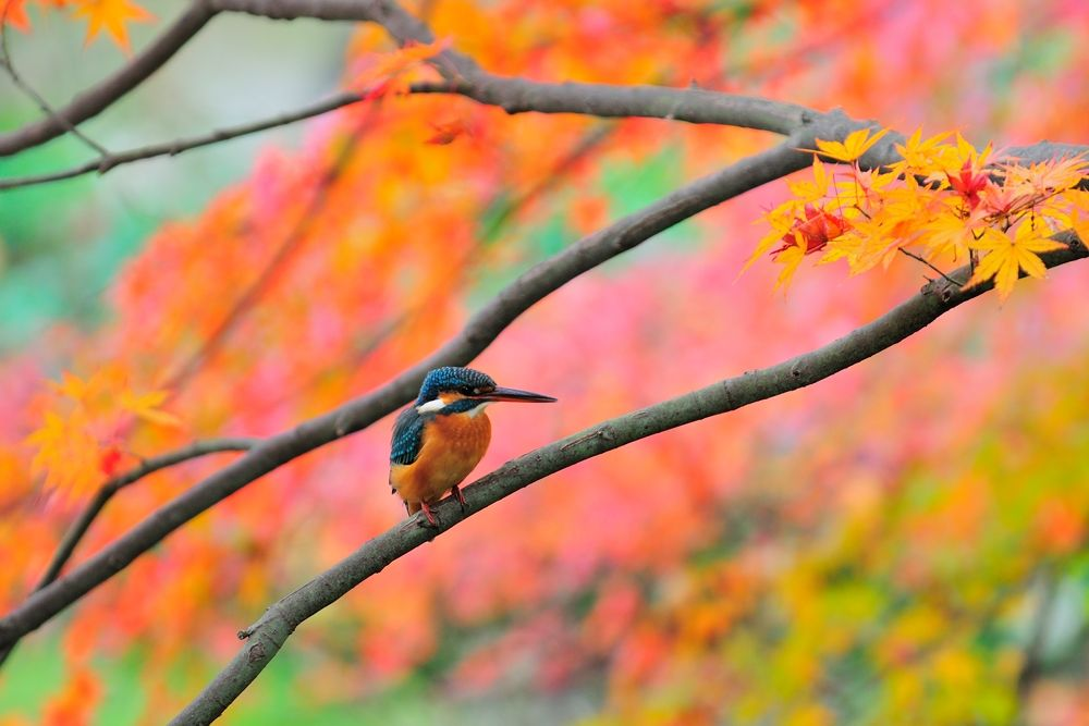 In Autumn Tint ! , Kingfisher by Mubi.A