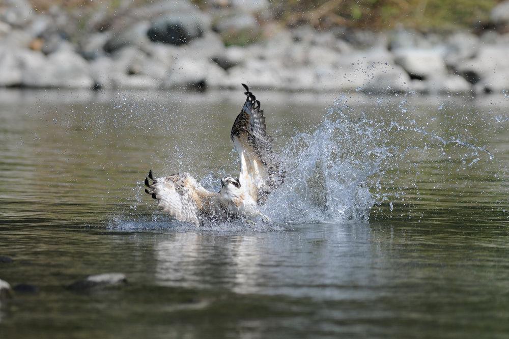 Big Splash ! , Ospray by Mubi.A