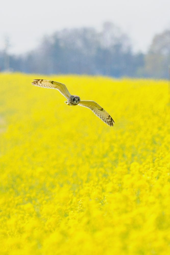 Above Yellow Carpet ! , Short-eared Owl by Mubi.A