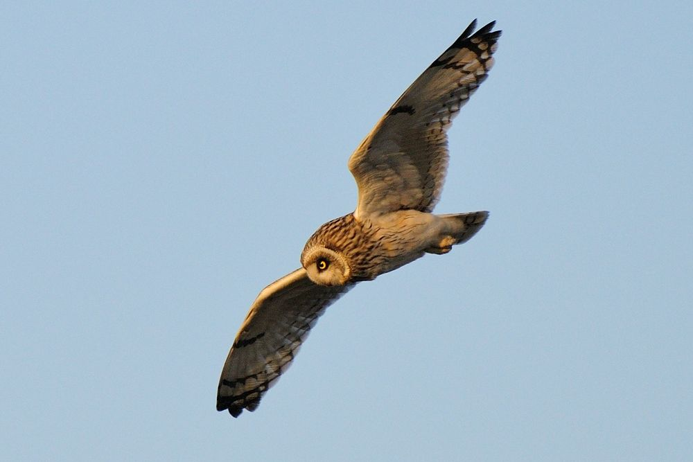Watching a Mouse ! , Short-eared Owl by Mubi.A