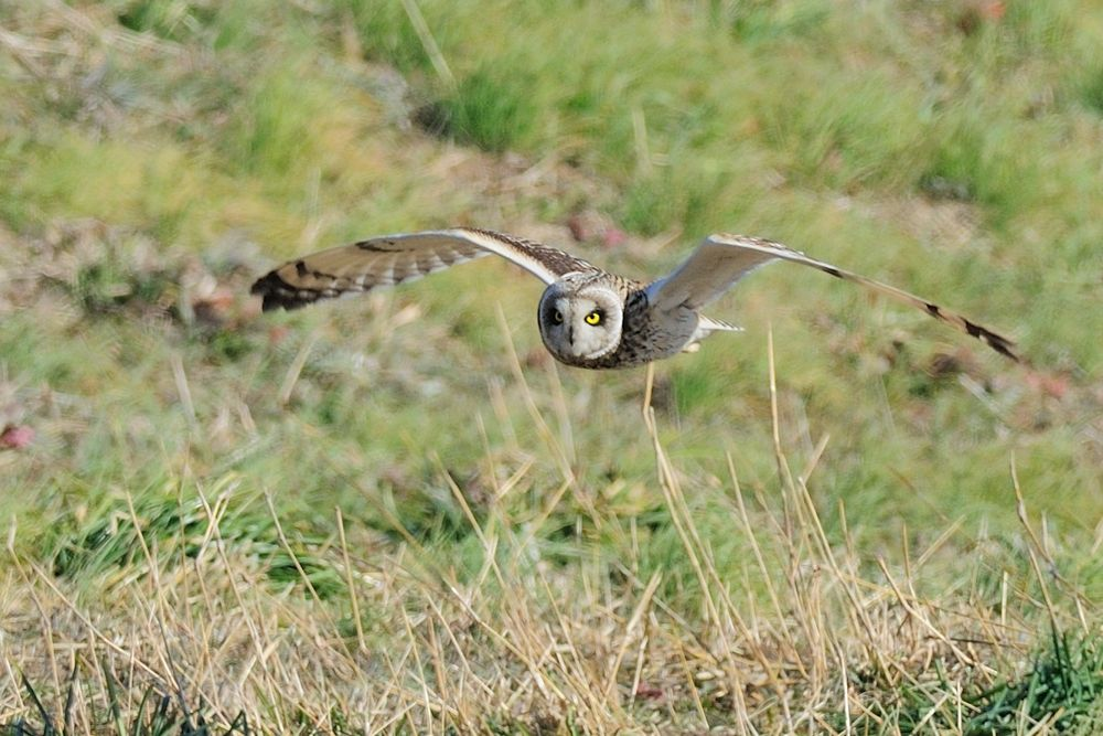 Comming ! , Short-eared Owl by Mubi.A