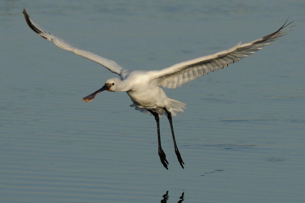 Comming ! , Eurasian Spoonbill by Mubi.A