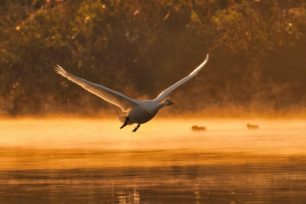 Just Flying ! , Swan by Mubi.A