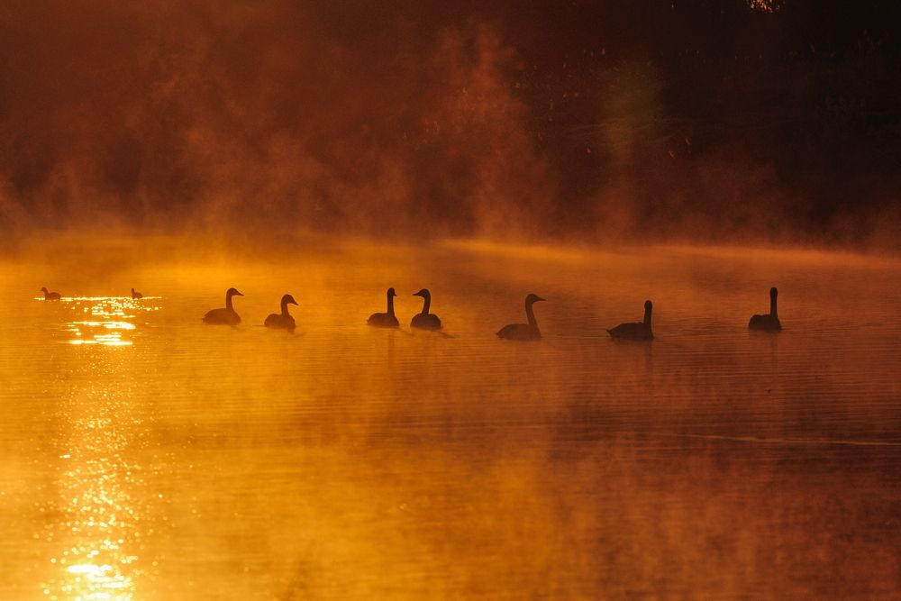 In Morning Golden Mist , Swans by Mubi.A