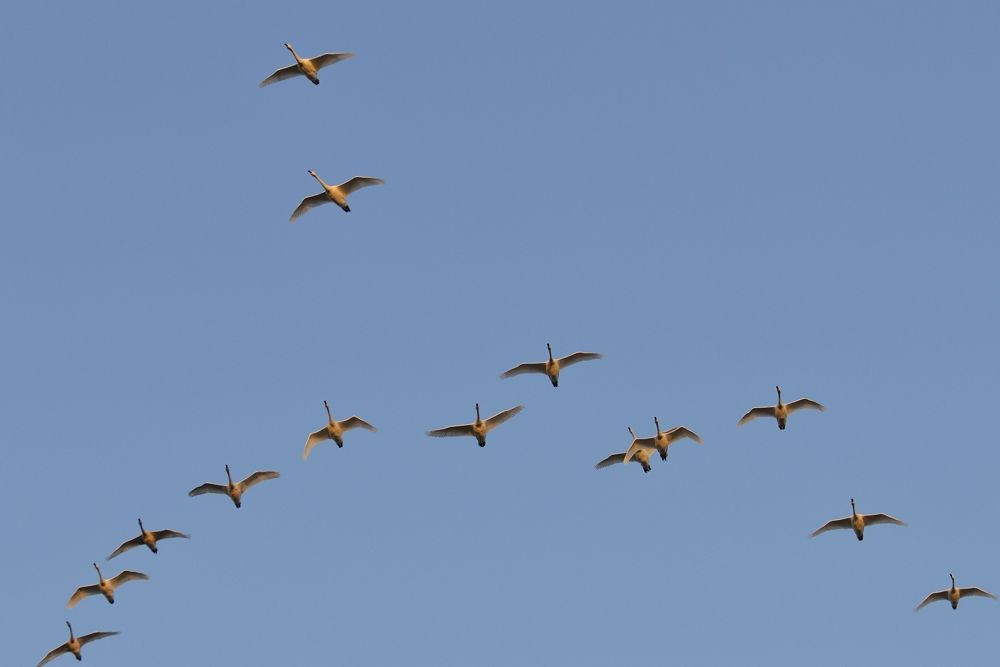 Formation Flight ! , Swans by Mubi.A