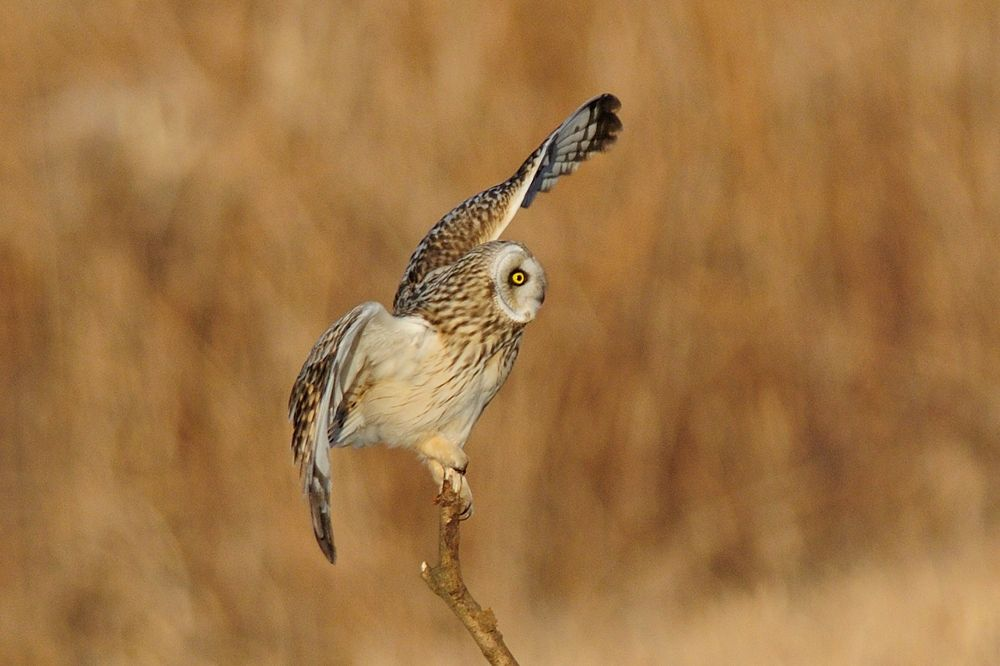 Oops ! , Short-eared Owl by Mubi.A