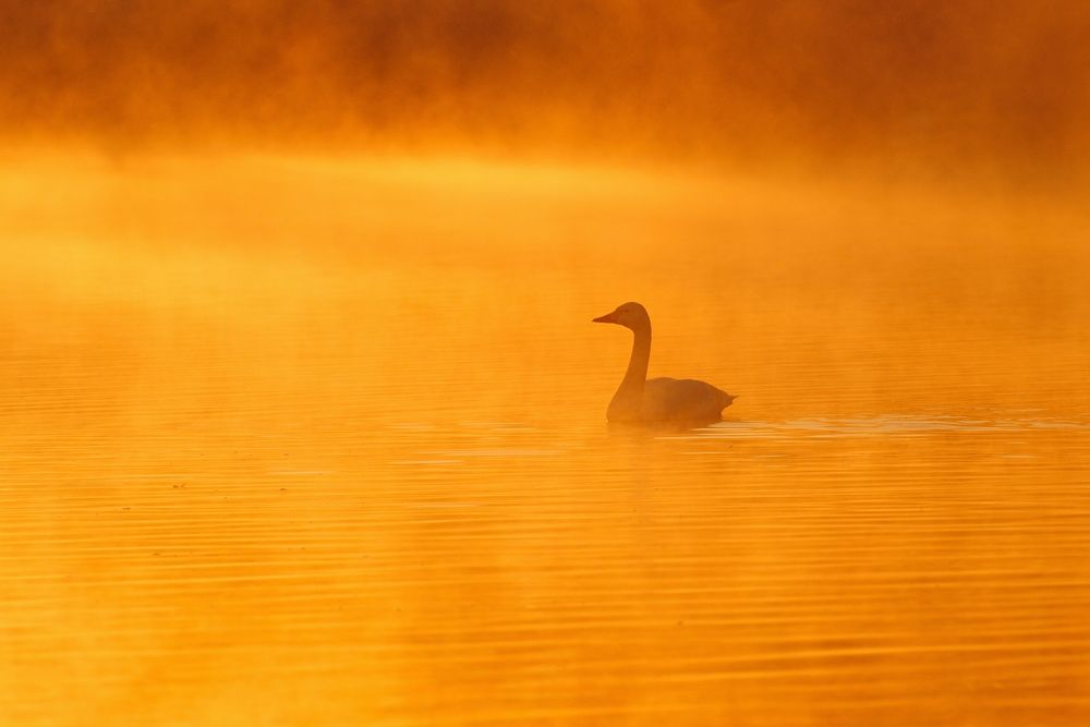 Photo in Animal #swan #bird #morning #gold #color #river #water #dawn #sunrise