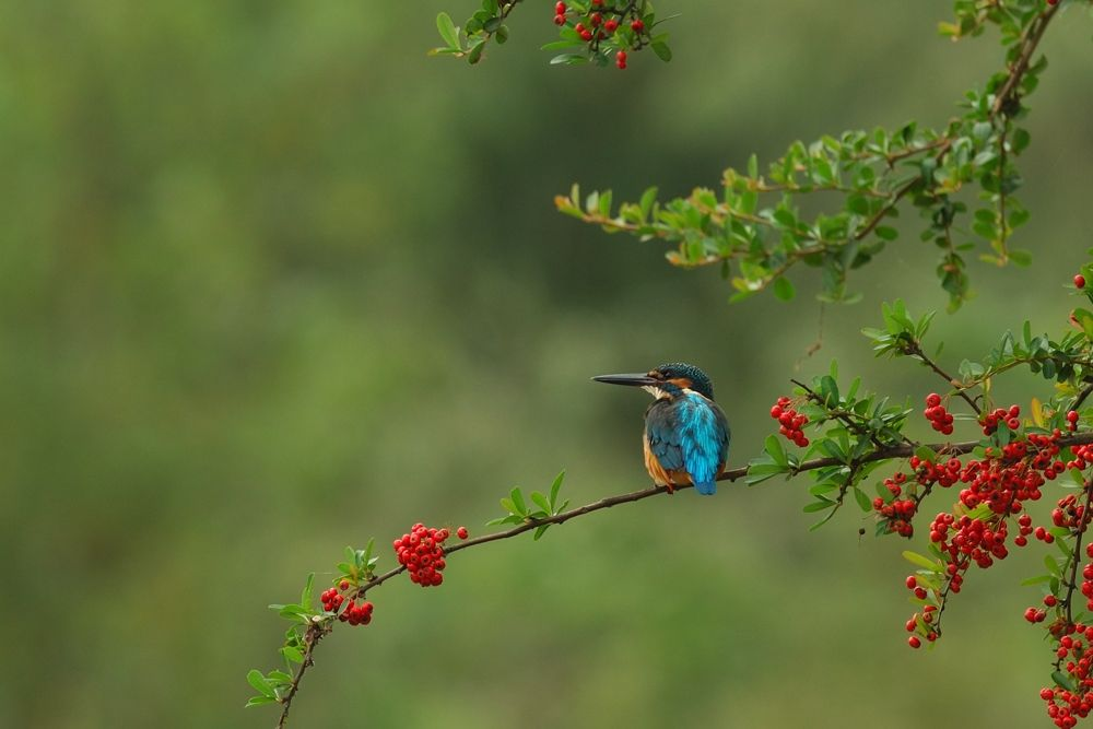 On Pyracantha ! , Kingfisher  by Mubi.A