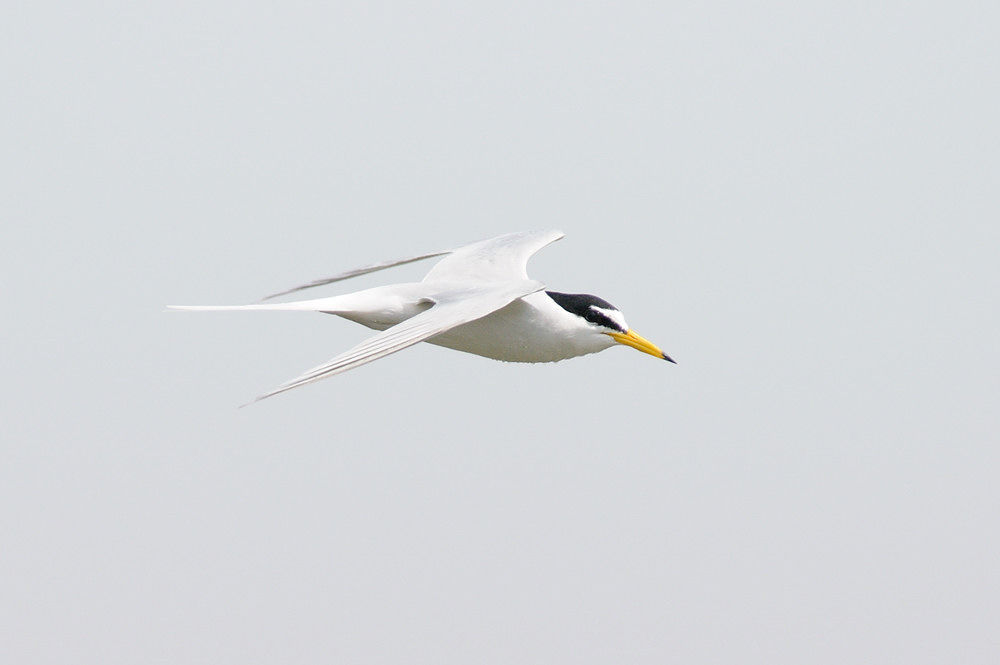 Photo in Animal #little tern #bird #animal