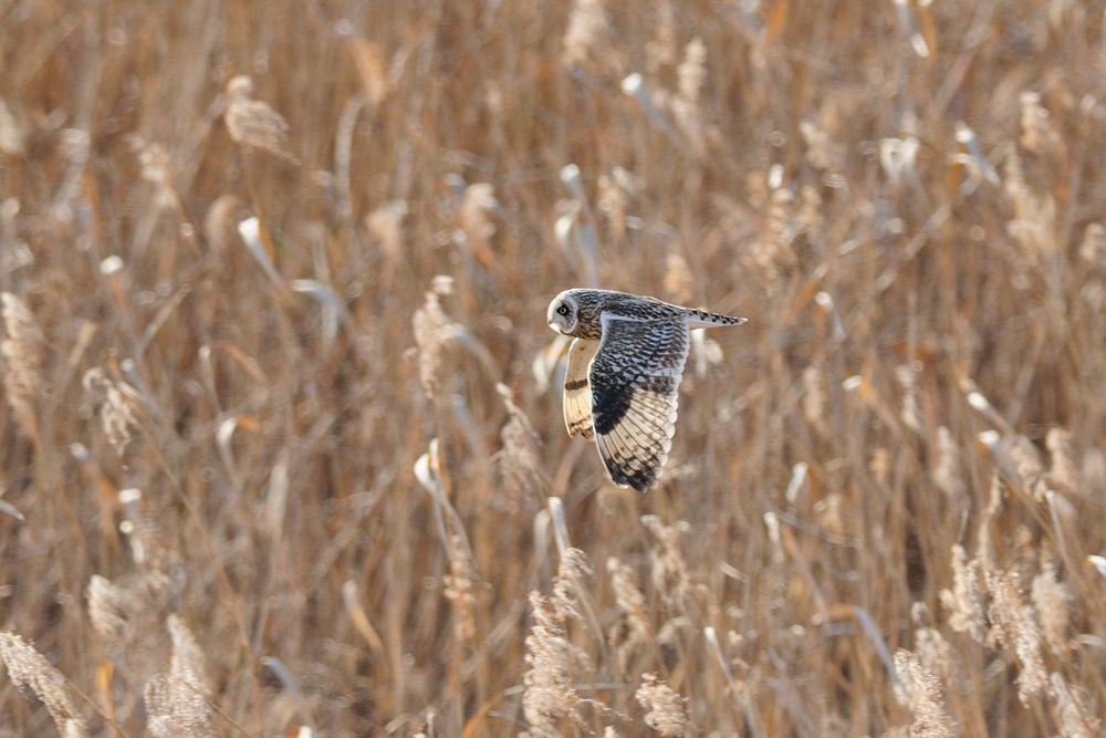 Short-eared Owl by Mubi.A