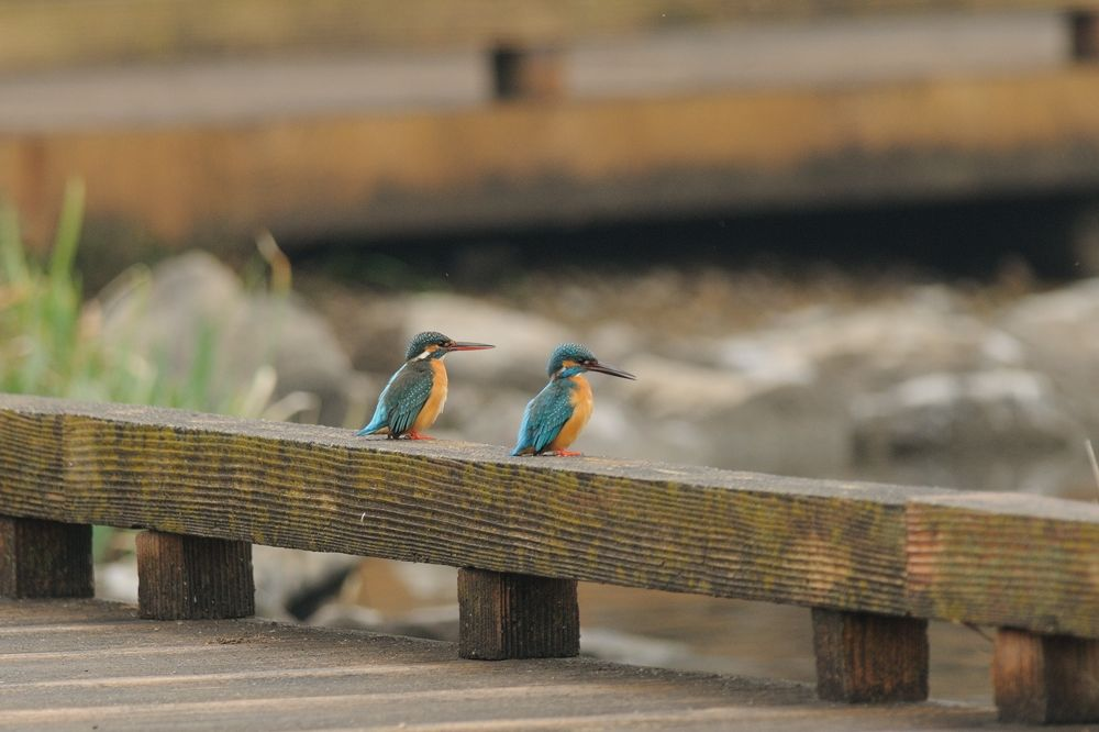 Lovely Pair ! , Kingfisher by Mubi.A