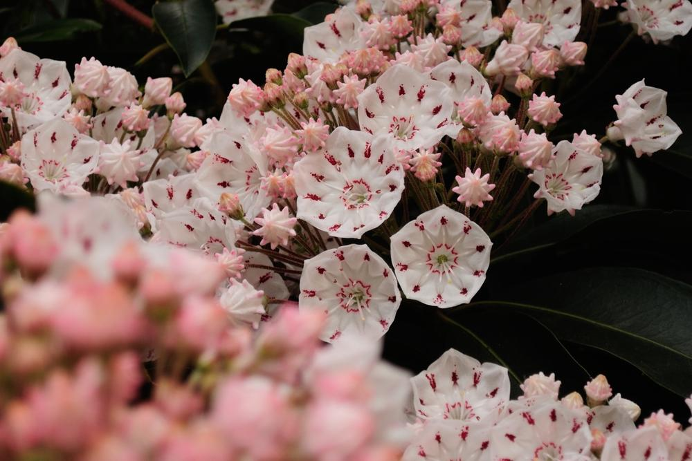 Photo in Nature #kalmia #flower #spring #nature