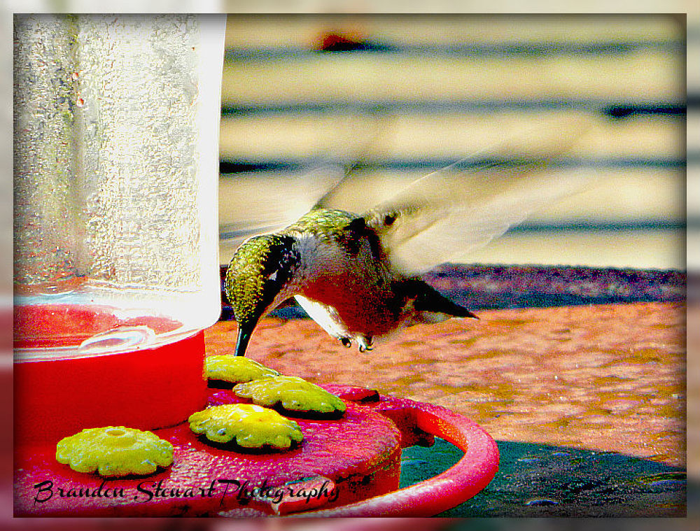 Hummingbird 2  by BrandonStewartPhotography