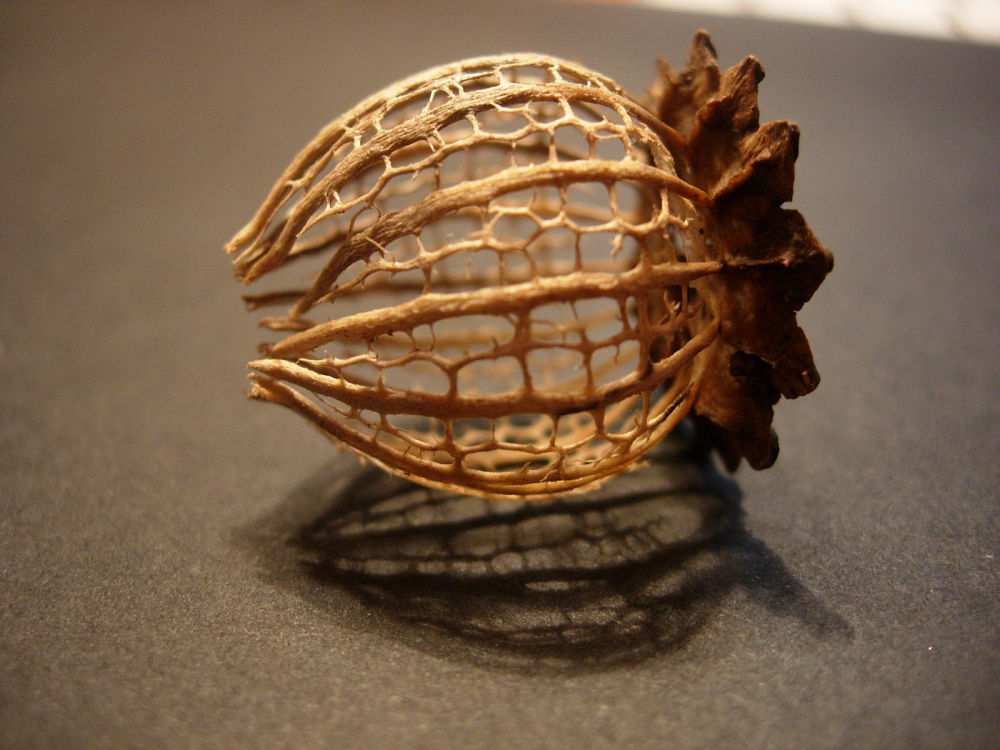 Skeleton of a poppy fruit III by Katy Haecker