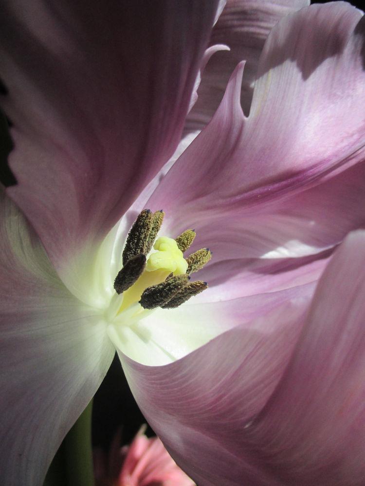 Tulip by Katy Haecker