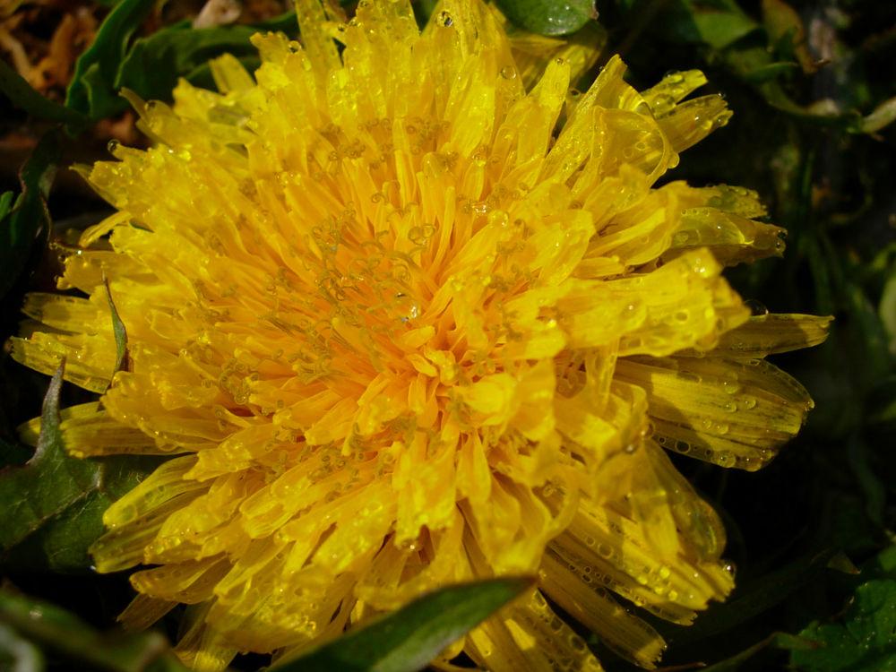 Dandelion in Dewdrops 3 by Katy Haecker