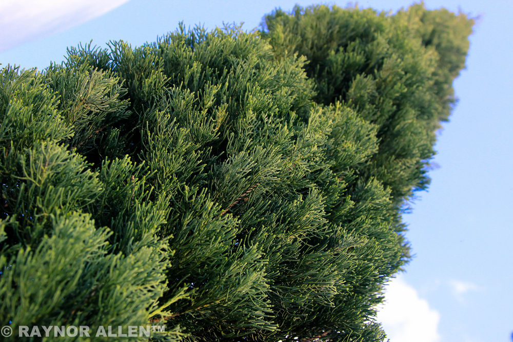 Pine Tree by Raynor Allen