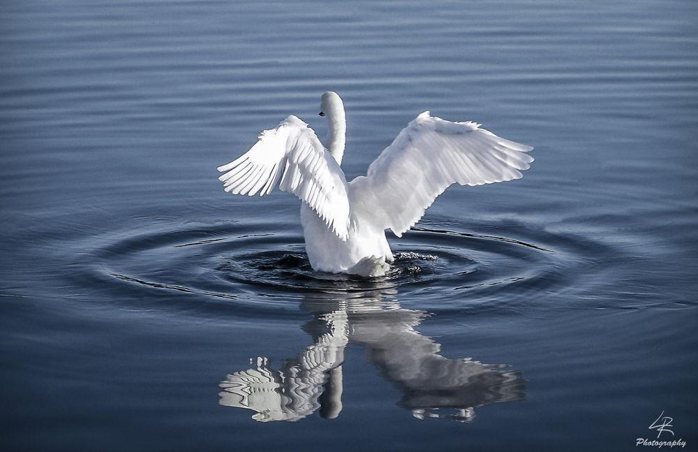 Swan by Leo Rantala