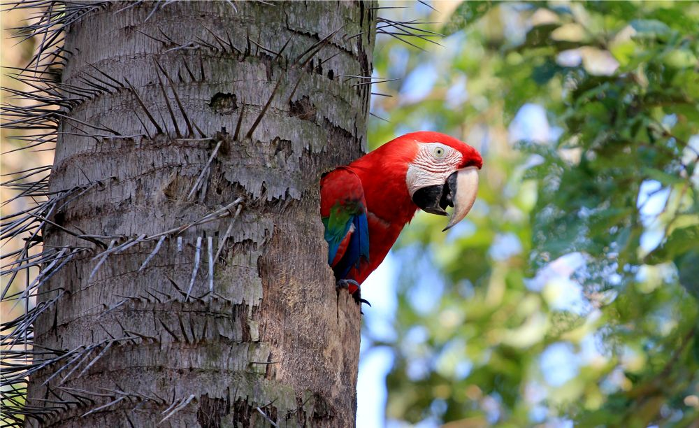 Red Macaw 2 by itamarcampos927