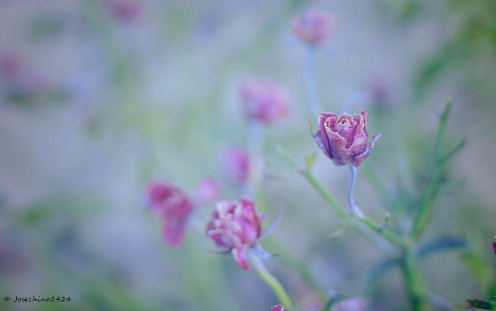 Mini rosas by josechino2424