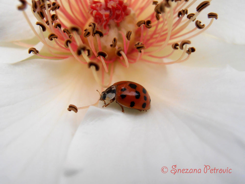 Ladybug by Snezana Petrovic