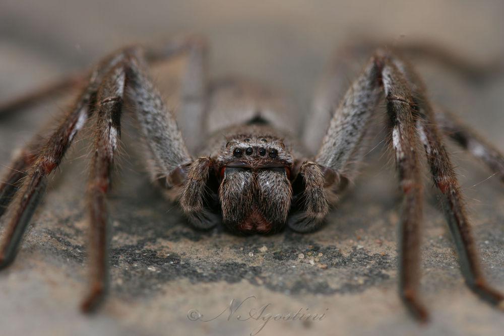 Huntsman spider by Nathan Agostini