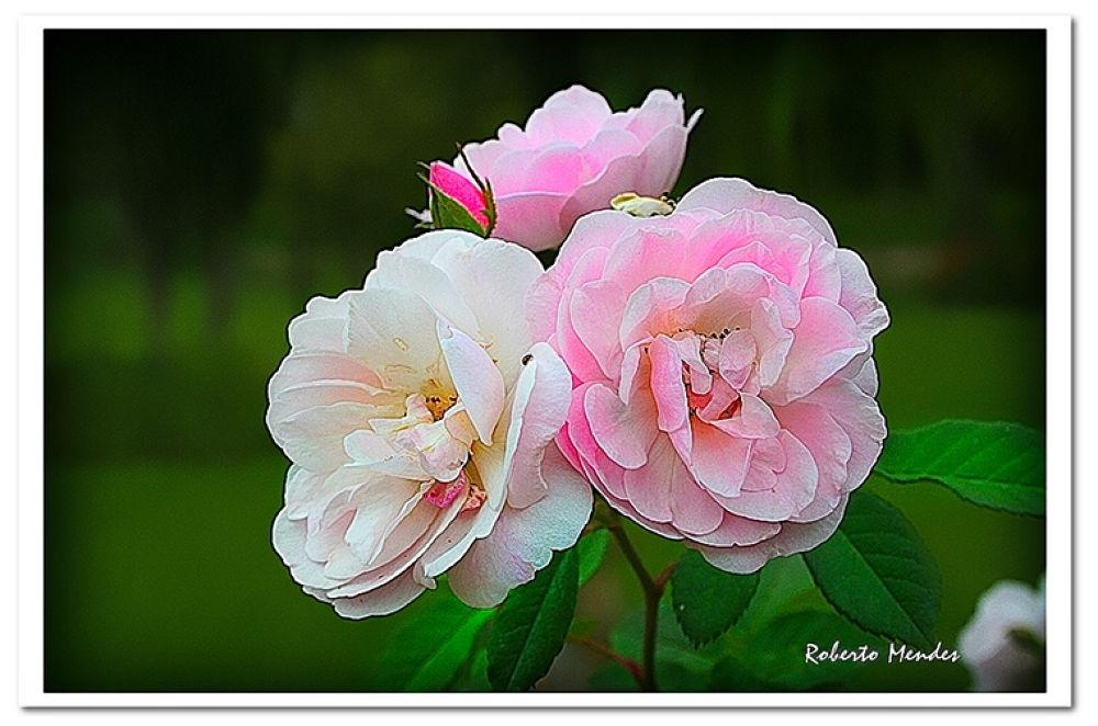 flores1 by Roberto Mendes