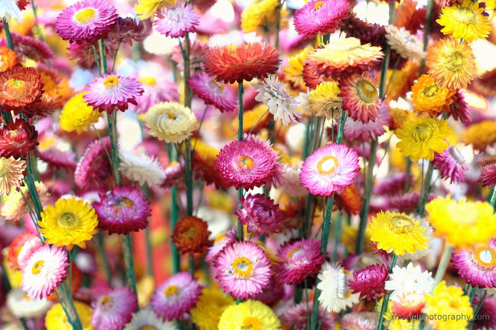 Helichrysum by Mishel Breen