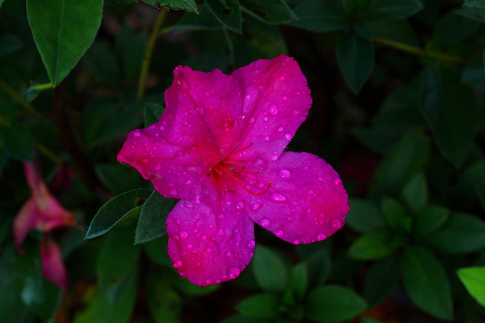 Photo in Nature #ypa2013 #azalea #pink #water droplets #nature