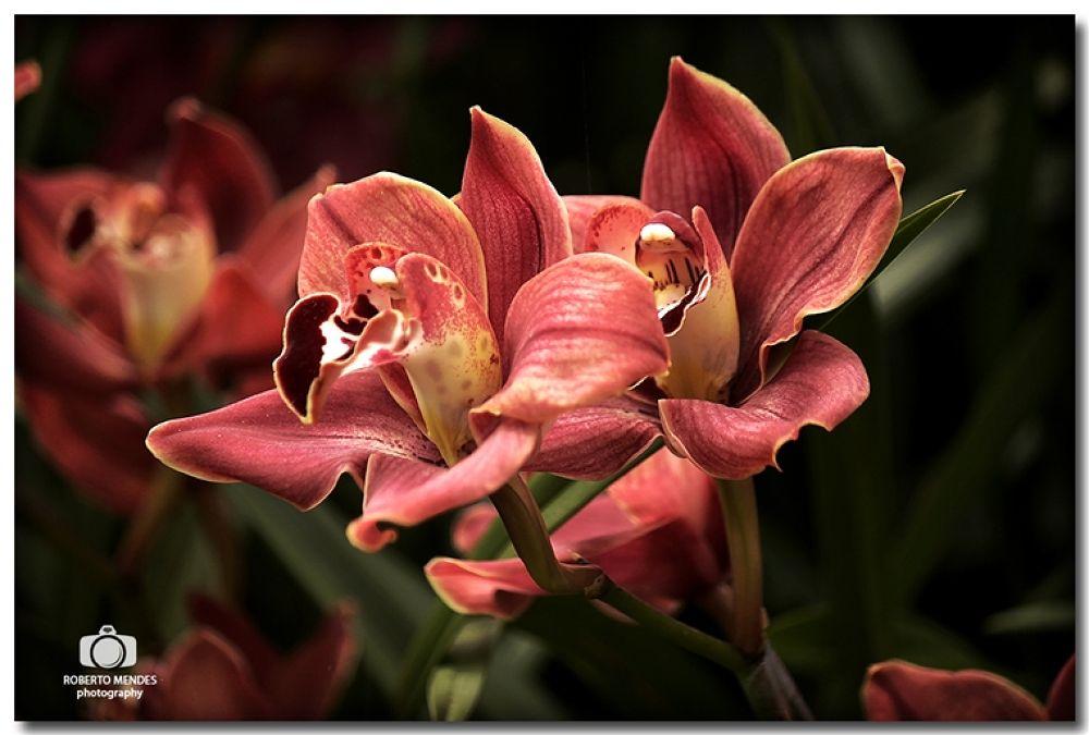 Orquidea 8 by Roberto Mendes