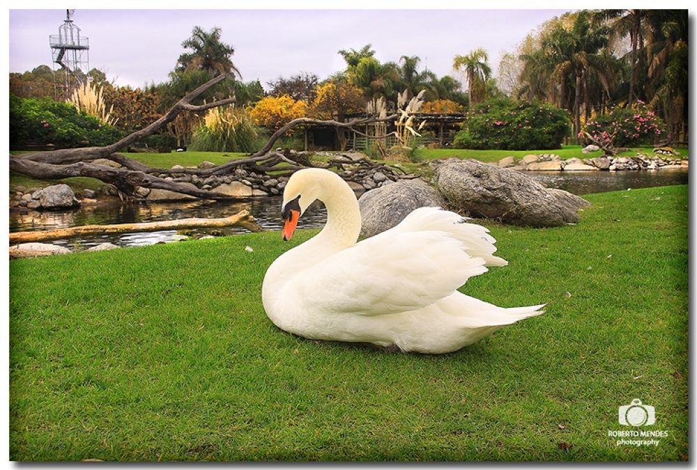 Cisne by Roberto Mendes