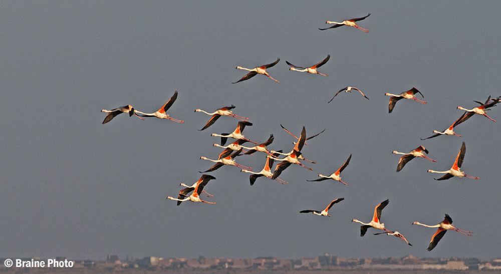 flamingo by braine