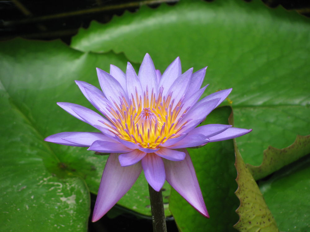 Violet Lotus by kinkhab