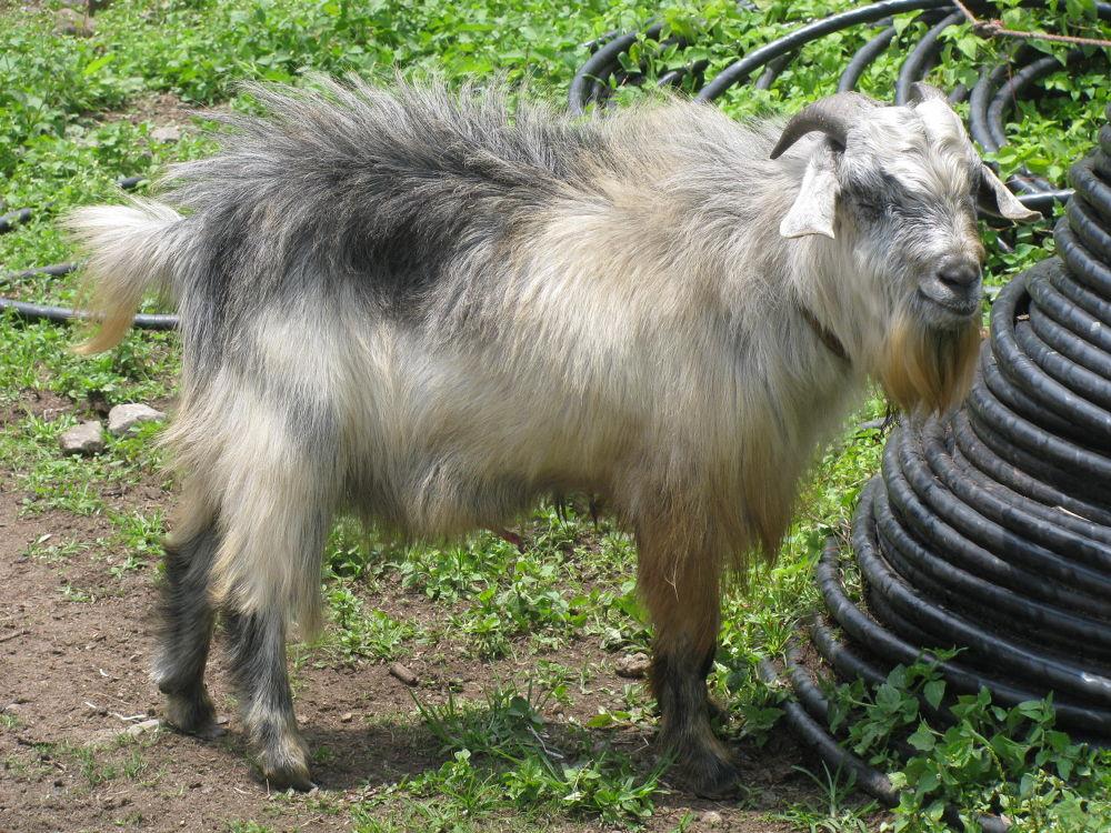 Photo in Animal #goat
