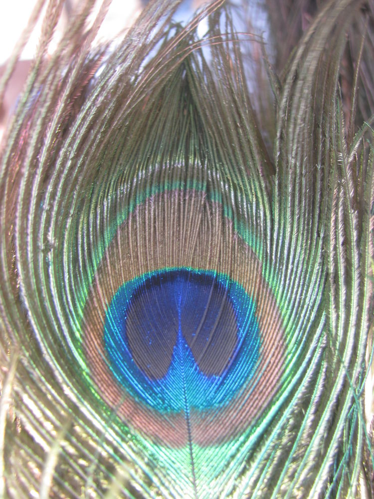 Peacock Feather by kinkhab